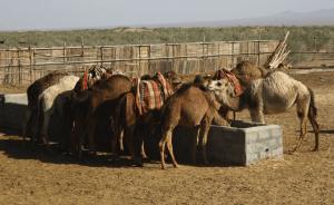 camels matinabad